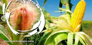 Cabelo do milho (estigma): O que é? Para que serve?