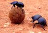 Besouro rola bosta: Insetos que fazem bolinhas de fezes para comer!