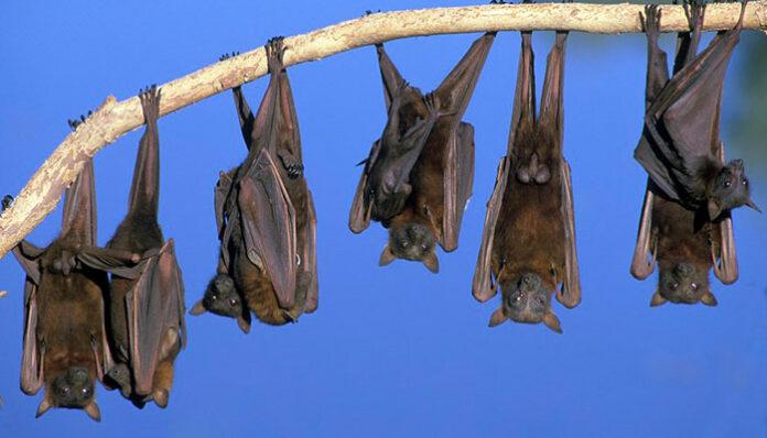 Fezes de morcegos podem ter fungo que causa grave infecção respiratória