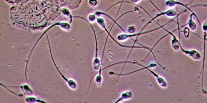 O líquido lubrificante liberado antes da ejaculação pode engravidar