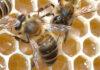 Como as abelhas produzem mel? Elas comem o mel que fazem?
