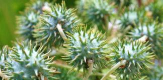 A mamona é uma das plantas mais venenosas e tóxicas do mundo