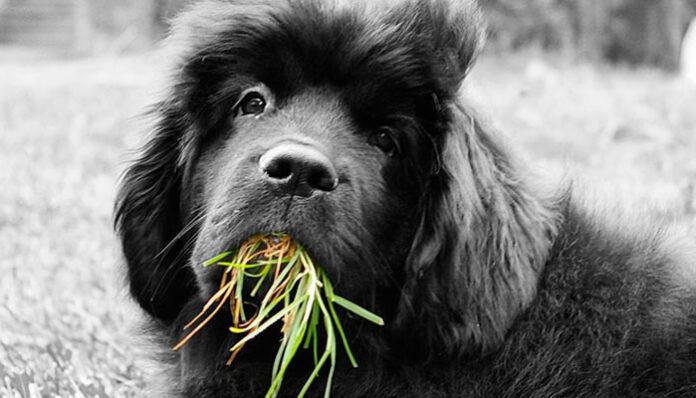 Cachorro comendo mato, é normal? O que pode ser?