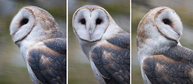 É verdade que a coruja pode virar a cabeça 360 graus? - Diário de Biologia