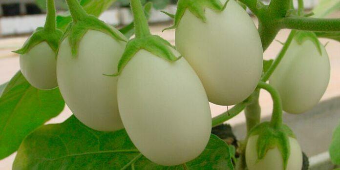 Planta ovo: seu fruto é igualzinho ao ovo de galinha