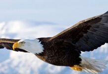 História da águia: a verdade sobre o ritual de renovação da águia