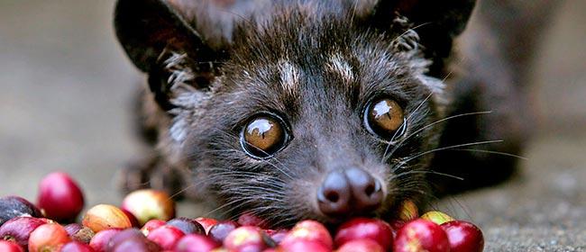 Um dos cafés mais caros do mundo é feito das fezes de um mamífero  (U$900/kg) - Diário de Biologia