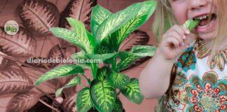 """Comigo ninguém pode """" é uma planta tóxica e venenosa e não deve ser cultivada em casa"""