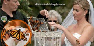 Noivas congelam borboletas para soltar nas cerimônias de casamento