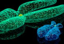 cromossomo Y não é apenas um definidor de sexo