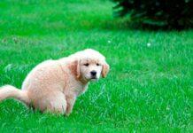 Por que seu cachorro olha para você enquanto está fazendo cocô?