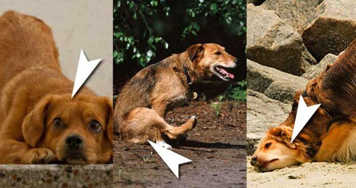 Comportamento do seu cachorro que significa um pedido de socorro