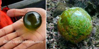 """A maior célula do mundo? Conheça a alga """"olho do marinheiro"""""""