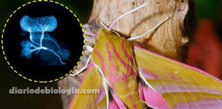 mariposa elefante