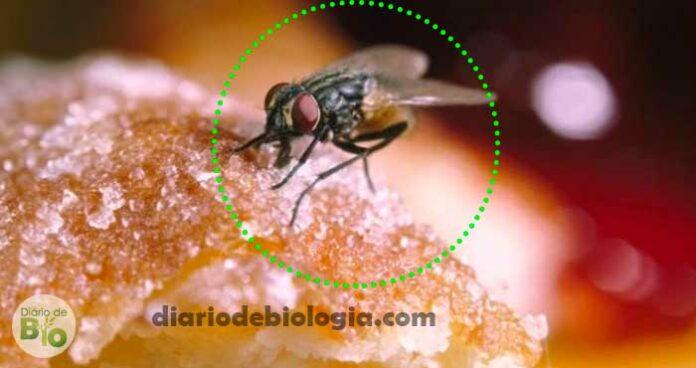 Moscas carregam bactérias que podem transmitir pneumonia e infecções