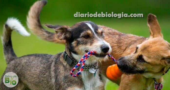 Cachorros também entram na adolescência