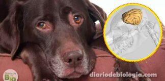Cachorros idosos podem ter Alzheimer. Aprenda a reconhecer e prevenir a doença