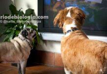 Cachorros conseguem ver televisão como nós? Eles podem ver as cores da TV?