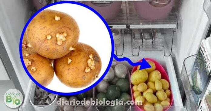 Batatas devem ser guardadas dentro ou fora da geladeira?