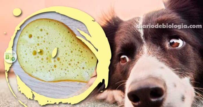Cachorro vomitando amarelo: O que pode ser e o que fazer?