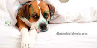Como saber se o cachorro está com febre? O que fazer?