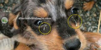 Cachorro com excesso de remela, o que pode ser?