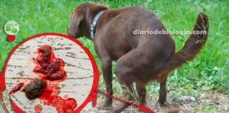 Cachorro com sangue nas fezes, o que pode ser?