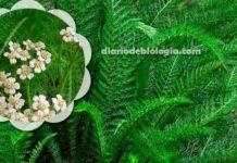 Uma planta chamada Dipirona: você precisa ter essa plantinha em casa