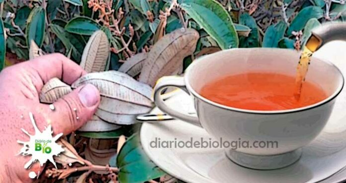 Chá de canela de velho: para que serve